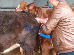 培训宁夏与平顶山客户使用牛用B超BXL-V50使用方法