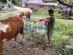 在云南培训繁育人员如何用牛用B超机给牛做孕检